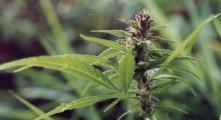 PU Kruševac: Pronađena marihuana skrivena pored kontejnera
